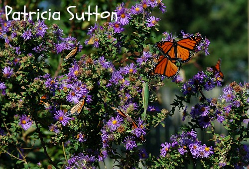 Monarch-NE Aster-PSutton